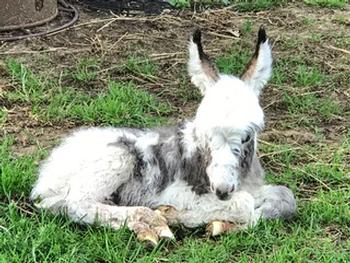 miniature donkeys New Jersey