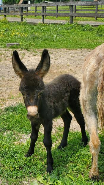 mini donkeys for sale NJ